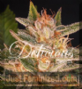 Delicious Cheese Candy Female 5 Marijuana Seeds